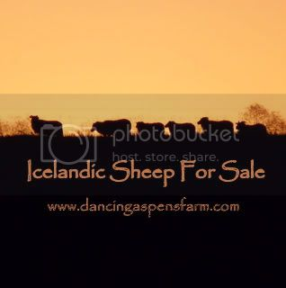 Our Other Blog~Icelandic Sheep For Sale